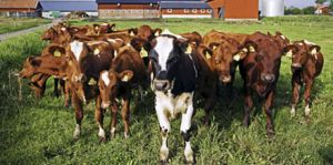 Agriculture-Cattle-hage